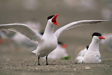Caspian Tern (Hydroprogne caspia) territorial displaying at nest site, mouth of Columbia River, Oregon  -  Gerry Ellis