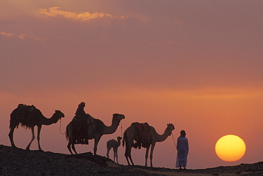 Dromedary (Camelus dromedarius) trio with Bedouins at sunset, Oasis Dakhia, Great Sand Sea, Sahara Desert, Egypt