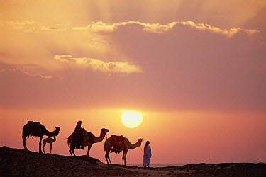 Dromedary (Camelus dromedarius) trio, domestic camels with Bedouins at sunset, Oasis Dakhia, Great Sand Sea, Sahara Desert, Egypt  -  Gerry Ellis