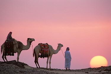 Dromedary (Camelus dromedarius) pair, domestic camels with Bedouins at sunset, Oasis Dakhia, Great Sand Sea, Sahara Desert, Egypt  -  Gerry Ellis