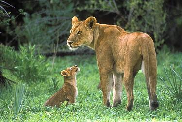 African Lion (Panthera leo) mother with cub, Moremi Wildlife Reserve, Okavango Delta, Botswana  -  Gerry Ellis