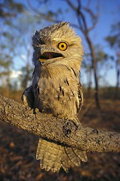 Tawny Frogmouth (Podargus strigoides), Australia