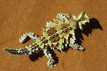 Thorny Devil (Moloch horridus) overhead view, native to the Central Desert, Western Australia  -  Gerry Ellis