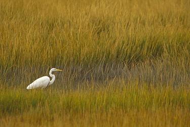 Great Egret (Ardea alba) amid marsh grasses, Pea Island National Wildlife Refuge, Outer Banks, North Carolina  -  Gerry Ellis