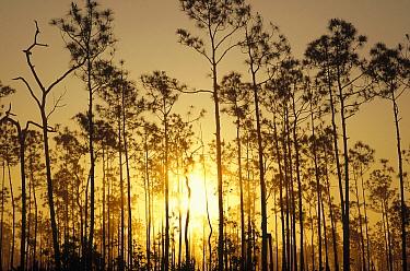 Slash Pine (Pinus elliottii) forest at sunset, Everglades National Park, Florida  -  Gerry Ellis