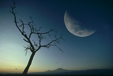 Whistling Thorn (Acacia drepanolobium) and moon, Amboseli National Park, Kenya  -  Gerry Ellis