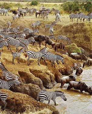 Burchell's Zebra (Equus burchellii) and Blue Wildebeest (Connochaetes taurinus) crossing the Mara River, Masai Mara National Reserve, Kenya  -  Gerry Ellis
