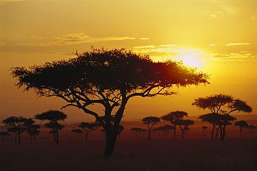 Umbrella Thorn (Acacia tortilis) trees at sunrise on savannah, Masai Mara, Kenya