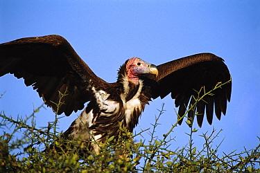 Lappet-faced Vulture (Torgos tracheliotus) spreading its wings, Masai Mara Reserve, Kenya  -  Gerry Ellis