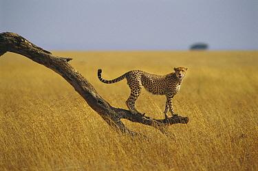 Cheetah (Acinonyx jubatus) standing on dead tree branch, Masai Mara, Kenya