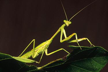 Praying Mantis (Mantis sp), Ndumo Game Reserve, South Africa  -  Gerry Ellis