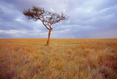 Whistling Thorn (Acacia drepanolobium) on savannah, Masai Mara Game Reserve, Kenya  -  Gerry Ellis