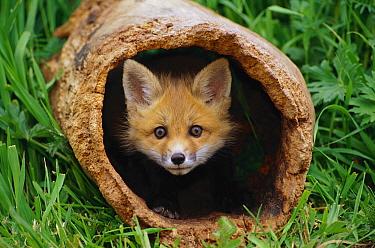 Red Fox (Vulpes vulpes) kit in log, Aspen Valley, Ontario, Canada