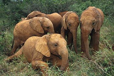 African Elephant (Loxodonta africana) juveniles, Nairobi National Park, Kenya  -  Gerry Ellis