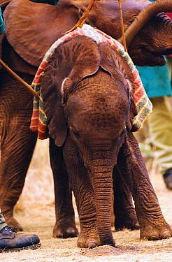 African Elephant (Loxodonta africana) orphan called Lalbon, one month old, shortly after arrival at David Sheldrick Wildlife Trust, Tsavo East National Park, Kenya  -  Gerry Ellis