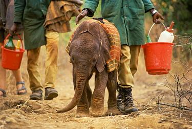 African Elephant (Loxodonta africana) orphan, Natumi, four weeks old, walked by keepers, David Sheldrick Wildlife Trust, Tsavo East National Park, Kenya  -  Gerry Ellis
