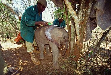 African Elephant (Loxodonta africana) keeper applying sunscreen to Kinna, a two week old orphan, David Sheldrick Wildlife Trust, Tsavo East National Park, Kenya  -  Gerry Ellis