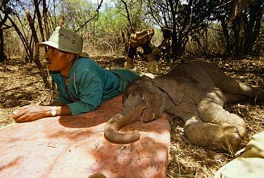 African Elephant (Loxodonta africana) keeper Jospat lying in shade with one week old sunburned orphan Kinna, David Sheldrick Wildlife Trust, Tsavo East National Park, Kenya  -  Gerry Ellis