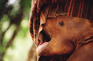 African Elephant (Loxodonta africana) orphan called Natumi, six week old begs for food under blanket, David Sheldrick Wildlife Trust, National Park, Kenya  -  Gerry Ellis