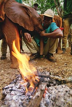 African Elephant (Loxodonta africana) orphan called Natumi, six month old being comforted by Bernerd at campfire, David Sheldrick Wildlife Trust, Tsavo East National Park, Kenya  -  Gerry Ellis