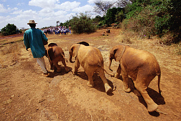 African Elephant (Loxodonta africana) little orphans led by keepers out of bush to midday mud wallow, David Sheldrick Wildlife Trust, Tsavo East National Park, Kenya  -  Gerry Ellis