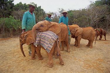 African Elephant (Loxodonta africana) orphan called Natumi, 9 month old playing with smaller orphan, David Sheldrick Wildlife Trust, Nairobi park, Kenya  -  Gerry Ellis