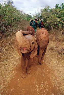 African Elephant (Loxodonta africana) orphan called Natumi, five week old charging camera, David Sheldrick Wildlife Trust, Tsavo East National Park, Kenya  -  Gerry Ellis