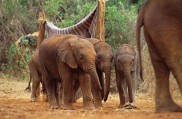 African Elephant (Loxodonta africana) orphans heading out to mud bath, David Sheldrick Wildlife Trust, Tsavo East National Park, Kenya  -  Gerry Ellis