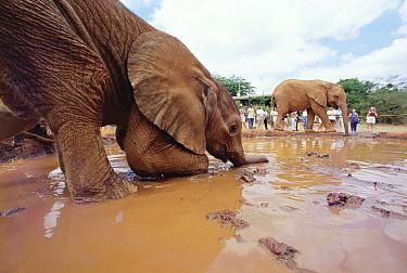 African Elephant (Loxodonta africana) orphan called Isholta playing in mud bath with Natumi in the background, David Sheldrick Wildlife Trust, Tsavo East National Park, Kenya  -  Gerry Ellis