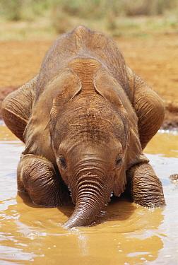 African Elephant (Loxodonta africana) orphan called Isholta, five weeks old, playing in mud bath, David Sheldrick Wildlife Trust, Tsavo East National Park, Kenya  -  Gerry Ellis