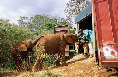 African Elephant (Loxodonta africana) orphan called Natumi, being trained to enter truck before the journey to Tsavo, David Sheldrick Wildlife Trust, Tsavo East National Park, Kenya  -  Gerry Ellis