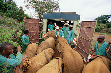 African Elephant (Loxodonta africana) orphans being loaded onto truck by keepers for the move to Tsavo, David Sheldrick Wildlife Trust, Tsavo East National Park, Kenya  -  Gerry Ellis