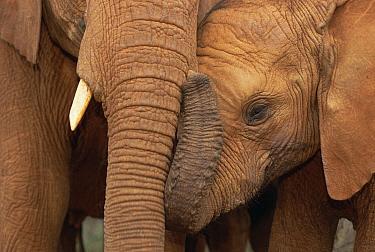 African Elephant (Loxodonta africana) orphans, Malalka with Natumi, David Sheldrick Wildlife Trust, Tsavo East National Park, Kenya  -  Gerry Ellis