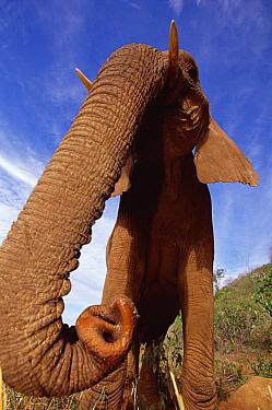 African Elephant (Loxodonta africana) portrait of Malaika, an orphan, taken with a wide angle lens, David Sheldrick Wildlife Trust, Tsavo East National Park, Kenya  -  Gerry Ellis