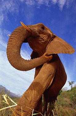 African Elephant (Loxodonta africana) portrait of female, taken with a wide-angle lens, David Sheldrick Wildlife Trust, Tsavo East National Park, Kenya  -  Gerry Ellis