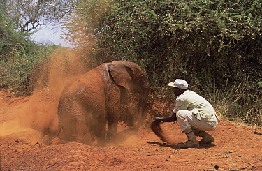 African Elephant (Loxodonta africana) orphan called Natumi, 24 month old taking a dust bath with Mischak's help, David Sheldrick Wildlife Trust, Tsavo East National Park, Kenya  -  Gerry Ellis