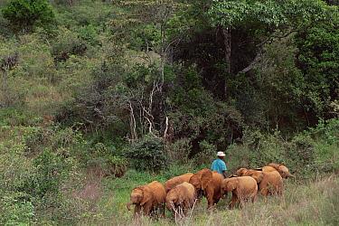 African Elephant (Loxodonta africana) orphan eight gathered on last day, Nairobi orphanage before leaving for Tsavo East National Park, David Sheldrick Wildlife Trust, Tsavo East National Park, Kenya  -  Gerry Ellis
