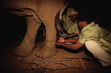 African Elephant (Loxodonta africana) orphan, Dika, has wire snare removed from leg by keepers Mishak and Benson, David Sheldrick Wildlife Trust, Tsavo East National Park, Kenya  -  Gerry Ellis