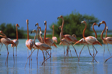 Greater Flamingo (Phoenicopterus ruber) flock wading, Inagua National Park, Bahamas, Caribbean  -  Gerry Ellis