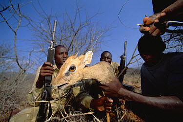 Dik Dik (Madoqua sp) being rescued from poacher's snare by anti-poaching patrol team members in the border areas of Tsavo  -  Gerry Ellis