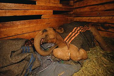 African Elephant (Loxodonta africana) orphaned baby Mwega sleeping in barn with Edwin, David Sheldrick Wildlife Trust, Tsavo East National Park, Kenya  -  Gerry Ellis