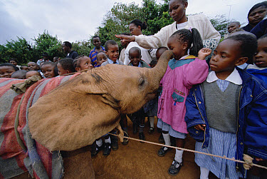 African Elephant (Loxodonta africana) orphaned baby Mwega playing with school children at mud bath, David Sheldrick Wildlife Trust, Tsavo East National Park, Kenya  -  Gerry Ellis