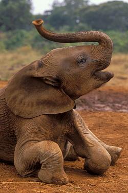 African Elephant (Loxodonta africana) orphaned baby Mwega playing at mud bath, David Sheldrick Wildlife Trust, Tsavo East National Park, Kenya  -  Gerry Ellis
