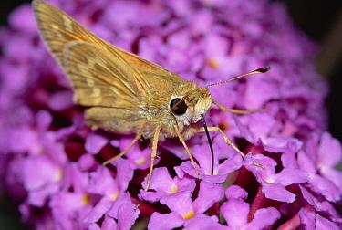 Silver-spotted Skipper (Hesperia comma) feeding, with proboscis, on flower nectar, western North America  -  Gerry Ellis
