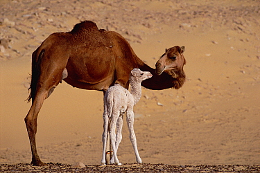 Dromedary (Camelus dromedarius) camel mother with two day old baby, Oasis Dakhia, Sahara, Egypt