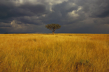 Whistling Thorn (Acacia drepanolobium) in open grasslands, Masai Mara National Reserve, Kenya  -  Gerry Ellis