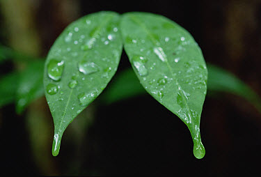 Leaf drip tips, tropical lowland rainforest, Gombe Stream, Tanzania  -  Gerry Ellis