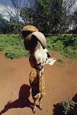 Rothschild Giraffe (Giraffa camelopardalis rothschildi) trying to lick camera lens, top-view, Nairobi National Park, Kenya  -  Gerry Ellis