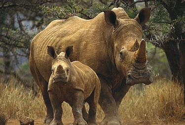 White Rhinoceros (Ceratotherium simum) mother with baby, Lewa Wildlife Conservancy, Kenya  -  Gerry Ellis