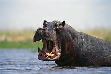 Hippopotamus (Hippopotamus amphibius) bull threat displaying, Dish Pan, Linyanti Swamp, Botswana  -  Gerry Ellis
